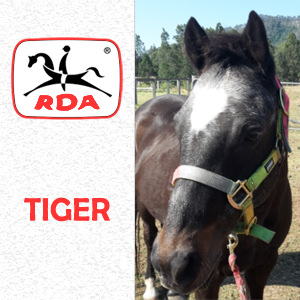 Tiger | RDA Raymond Terrace - Riding For The Disabled - Horse Riding Profile