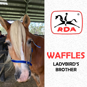 Waffles | RDA Raymond Terrace - Riding For The Disabled - Horse Riding Profile